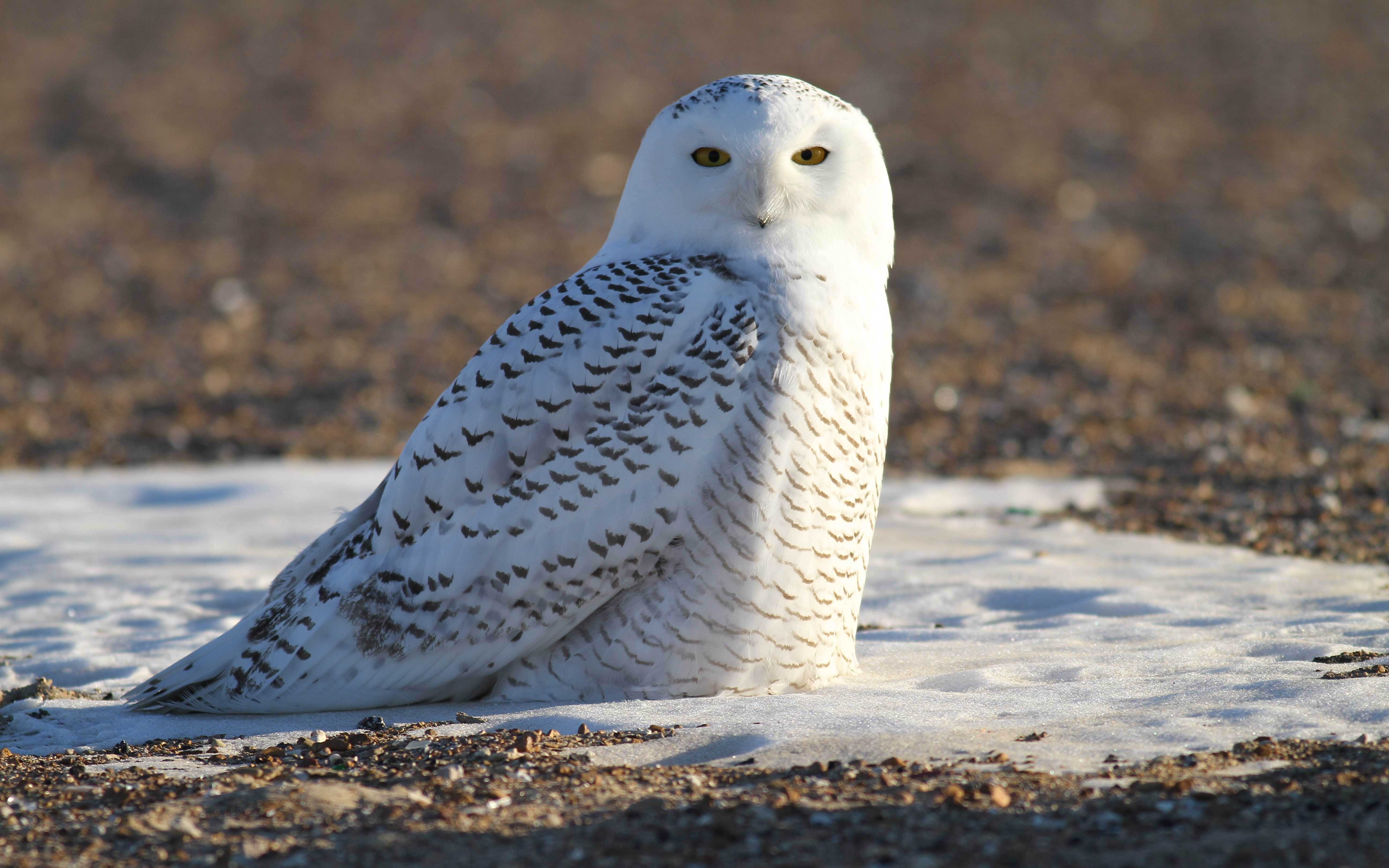 The snowy owl locks eyes with the camera. Owls are Hoeckner's favorite bird of prey to photograph.