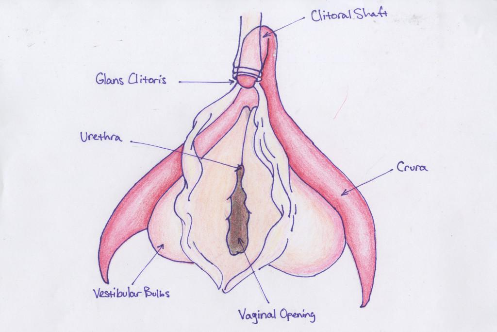 A diagram of the clitoris. Illustration courtesy of Penny Kahn '17.