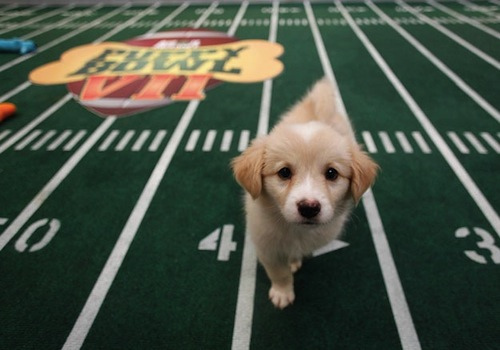 Puppies are athletes too! Inside the Puppy Bowl
