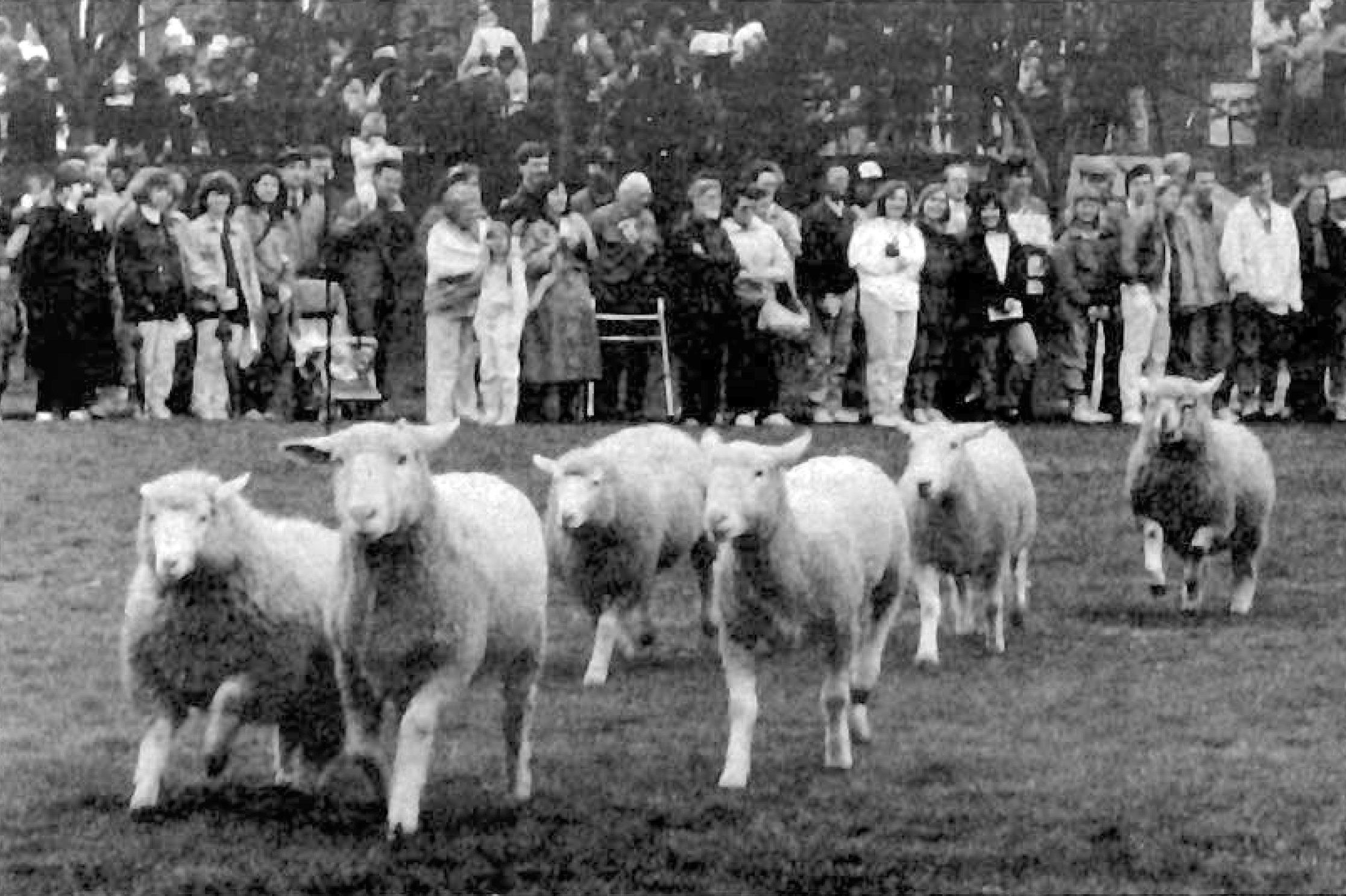 Sheep herding at Macalester in 1991. Photo Courtesy of Macalester Archives.